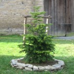 Tannenbaum in Adventon